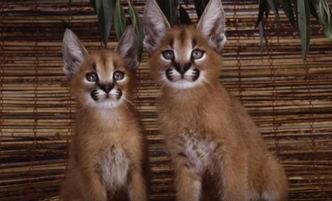 5 очень редких и необычных пород кошек.