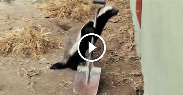Смышленый барсук довел смотрителей зоопарка до ручки. Он делает ЭТО снова и снова!