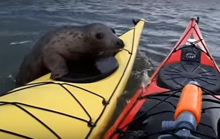 Тюлень, который катается на каяке.