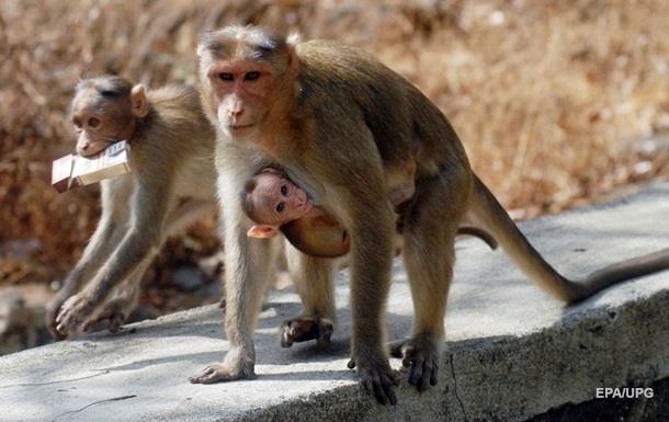 Ворующая номер автомобиля обезьяна попала на видео