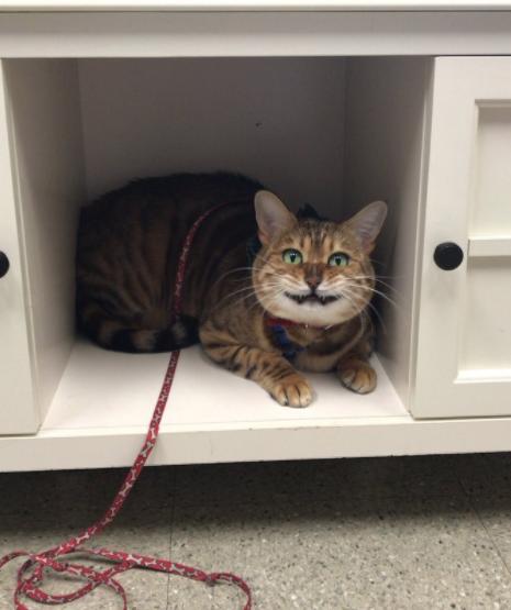 7 смешных котов, которые ну о-о-о-чень боятся ветеринаров
