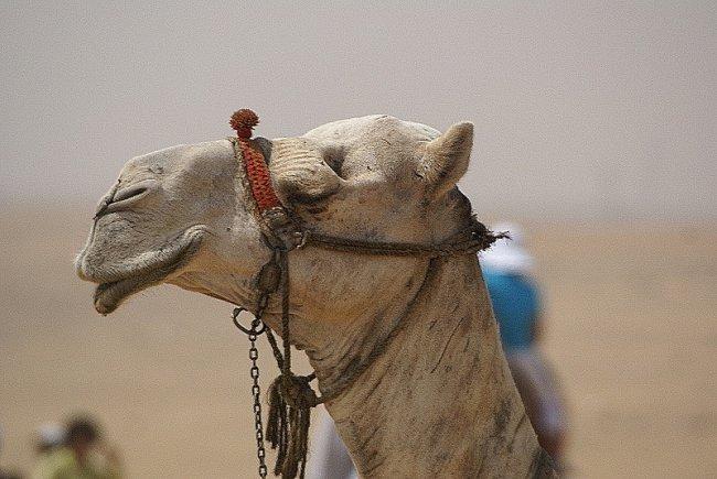 Машенька и верблюд.