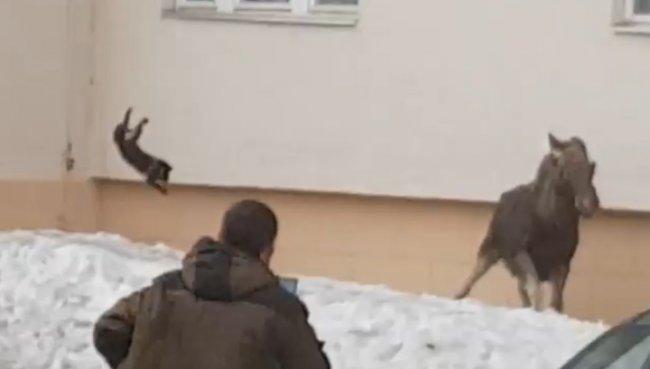 Изгнание лося при помощи кота