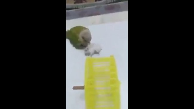 Попугай готовит хомяка в космонавты