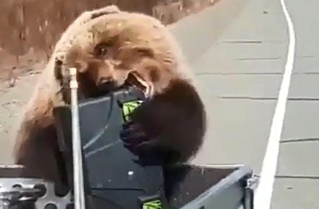 Выстрелы его не испугали: на Камчатке медведь стащил из автомобиля ящик с провизией. Видео
