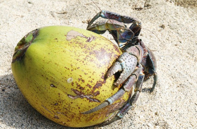 Джентльмен удачи: пальмовый вор